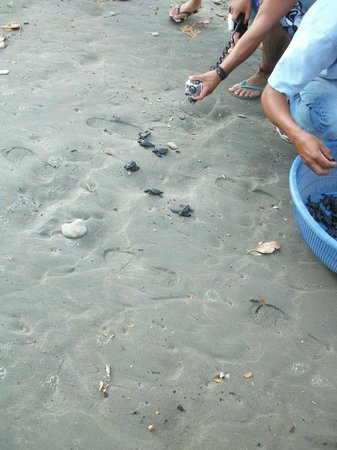 Playa Hermosa Beach Hotel:                   Baby turtles being released on Playa Hermosa