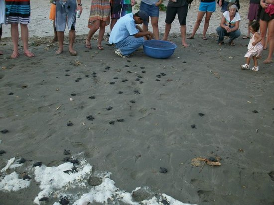 Playa Hermosa Beach Hotel:                   Baby turtles make a dash for the beach