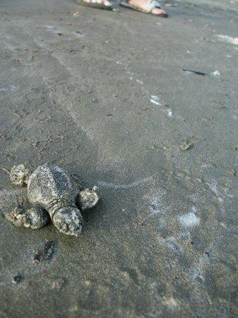 Playa Hermosa Beach Hotel:                   Baby Olive Ridley turtle