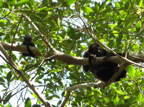 Sugar's Monkey:                   Mama and baby Howler Monkey