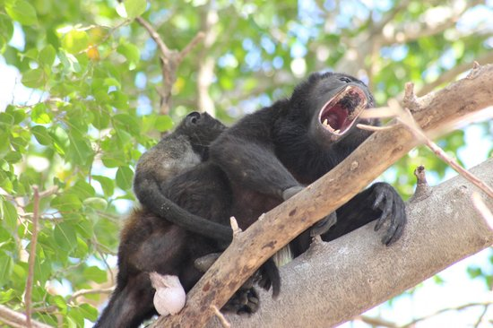 The Breeze:                   Howler monkeys