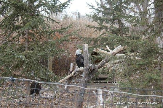 ZooMontana:                                     Bald Eagles
