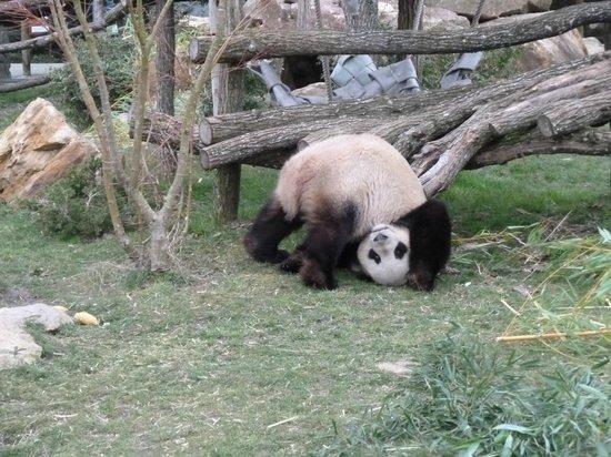 Saint-Aignan, Frankrike: panda