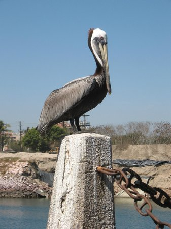 El Cid Marina Beach Hotel: pelican