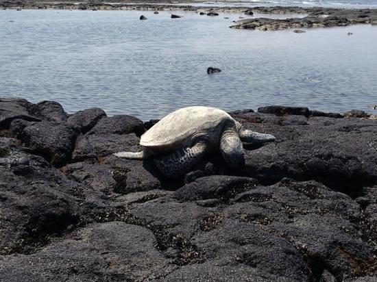 Kaloko-Honokohau National Historical Park: Sea turtle!