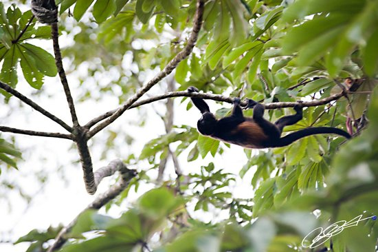 Lost Iguana Resort & Spa:                                     A holler monkey spotted overhead