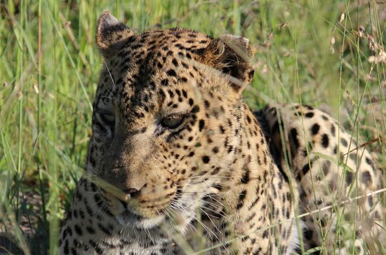Wilderness Safaris DumaTau Camp:                                     Leopard