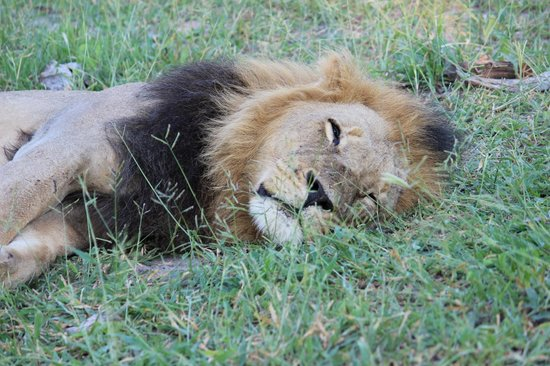 Wilderness Safaris DumaTau Camp:                                     Black Mane Lion