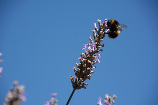 Blue Thistle Cottages:                   Bees on the lavendar outside our cottage.