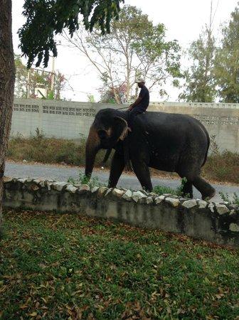 Hua Hin Manee Siam Resort :                   elephant walking pass