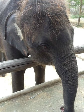 Hua Hin Manee Siam Resort :                   elephant walking passed