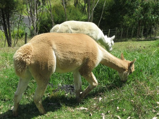 Coastal Chalet Suites:                                     The lovely alpacas to watch from your room