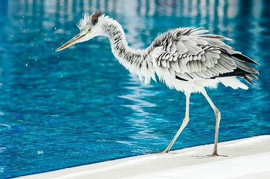 Vilamendhoo Island Resort & Spa:                   Heron