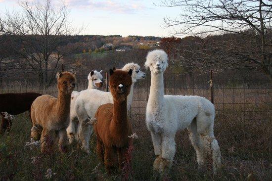 Springdale Inn: Hi from our alpacas