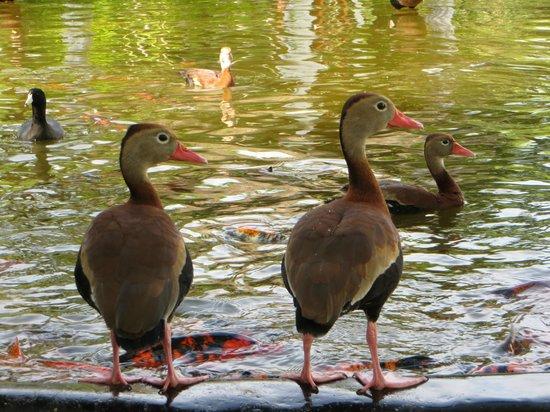 Melia Puerto Vallarta All Inclusive: ducks
