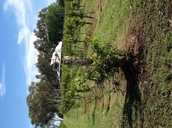 Spicers Vineyards Estate:                   The vineyard