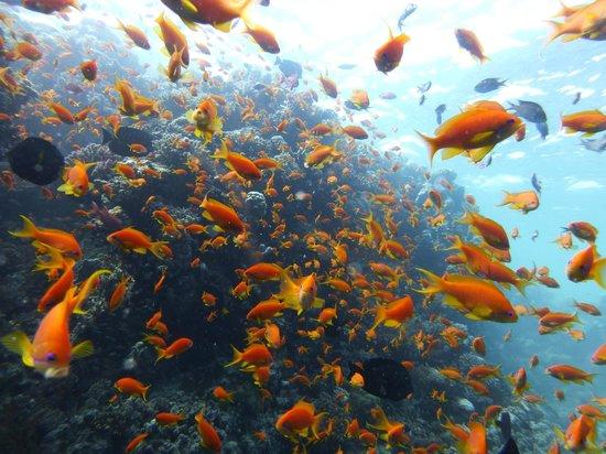 New Son Bijou Diving Center:                                     Anthia bonanza