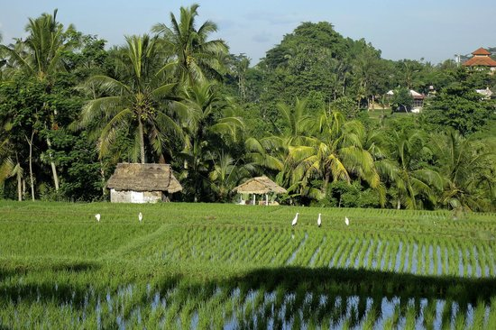 Sri Ratih Cottages:                   Ricefields nearby in Ubud