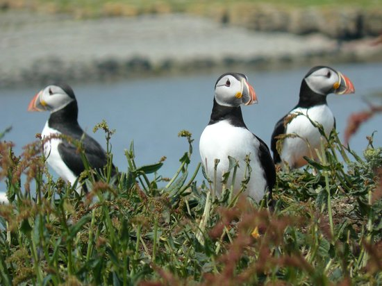 Drymen Red Bus -  Day Tours: Delightful Puffins on the Treshnish Isles