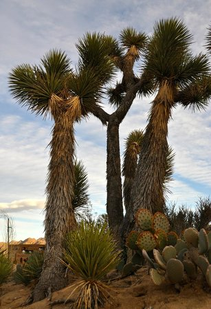 Desert Lily:                                     Joshua Trees on the property