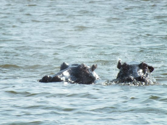 Spurwing Island:                   Happy Hippos
