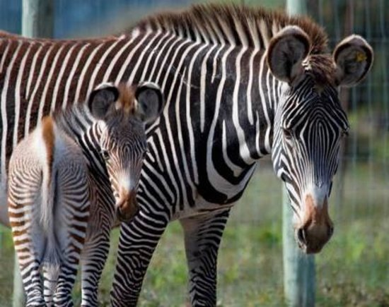B Bryan Preserve: Endangered Grevy's Zebra breeding program