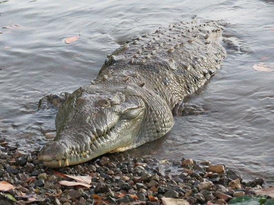 Coiba Island National Park:                   lagarto tito en isla de coiba