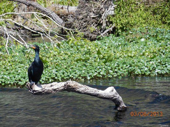 Blue Heron River Tours:                   One of many birds along the St. Johns River.