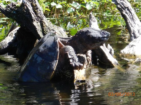 Blue Heron River Tours:                   A GIGANTIC snapper turtle; snappers not always seen so close. Unique photo opp