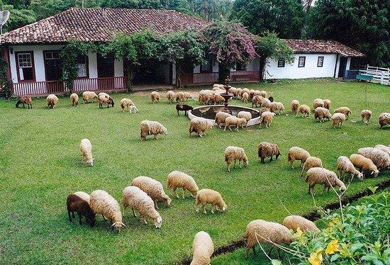Santana dos Montes, MG: Ovelhas