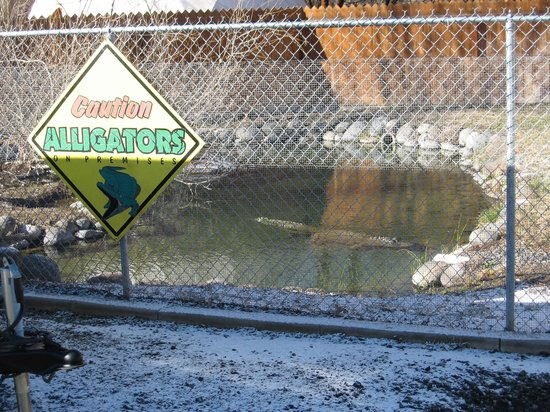 Miracle Hot Springs:                                     the alligator