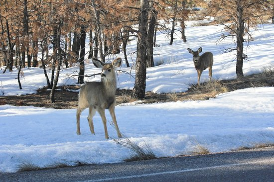 BEST WESTERN PLUS Bryce Canyon Grand Hotel: Mule deer in park