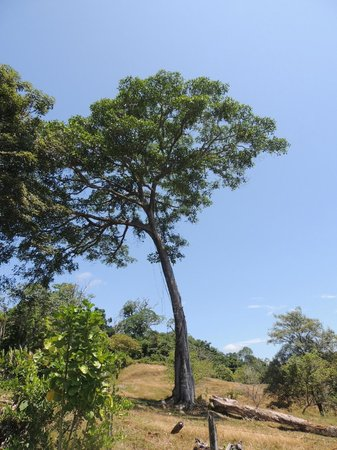 La Cusinga Eco Lodge: A Great Fig tree