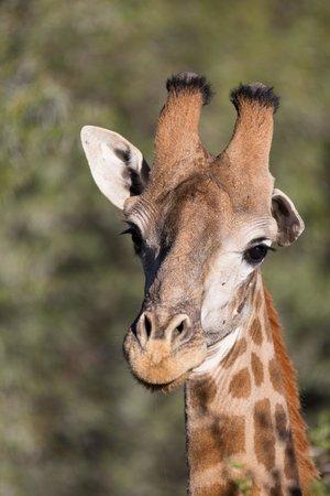 Inverdoorn Game Reserve: Giraffe