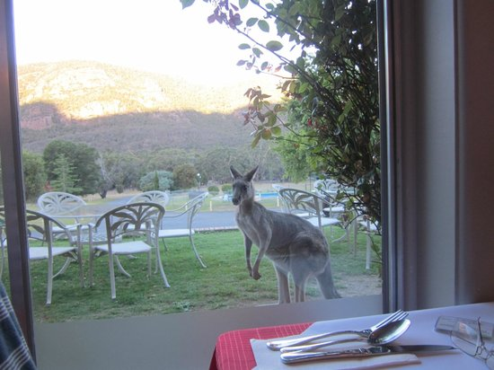 The Grampians Motel & The Views Restaurant:                   Kangaroo watching through restaurant window