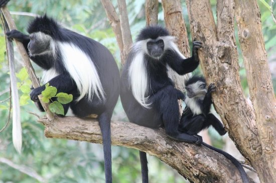 Forest Dream Resort: Colobus Troop