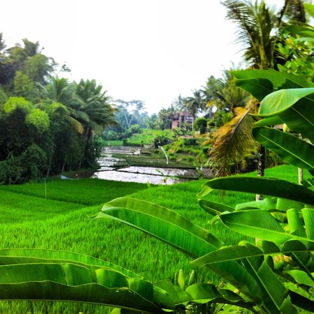 Ubud Green:                   view from the pool
