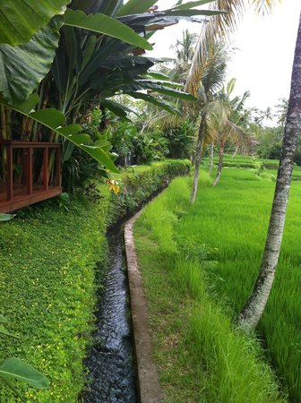Ubud Green:                   Rice field walk