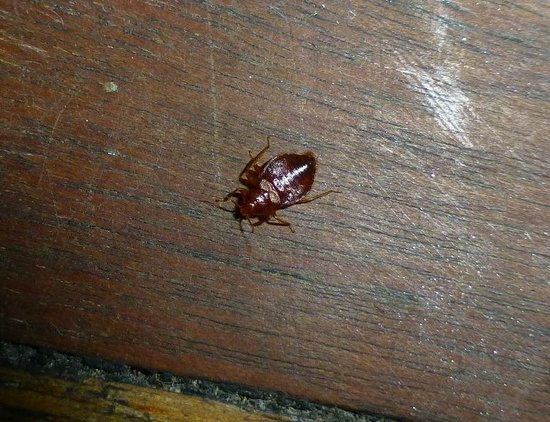 Magnums Airlie Beach:                                                       bed bug on floor