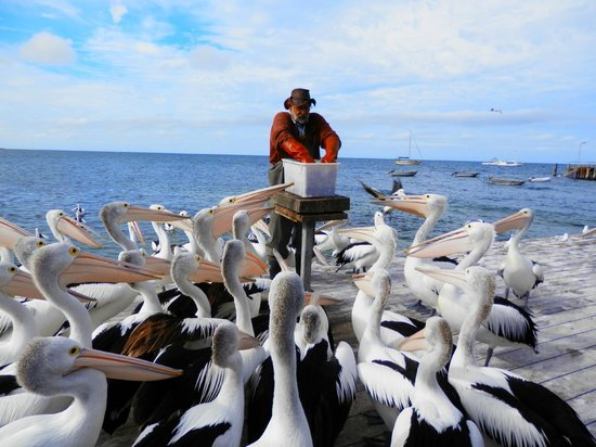 Aurora Ozone Hotel:                   The pelican feeding guy - 5pm nightly on the wharf, Kingscote