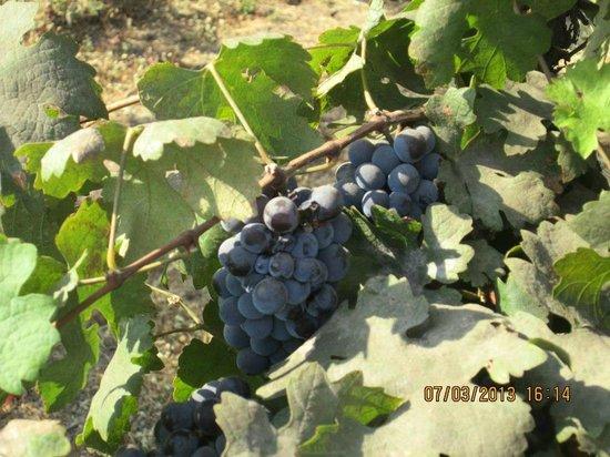 Sula Vineyards:                                     Grapes