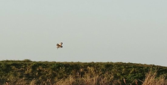 The George Hotel Cley :                   Barn owl over the marsh