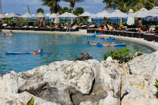 Secrets Maroma Beach Riviera Cancun:                                     Iguanas basked in the sun by the pool