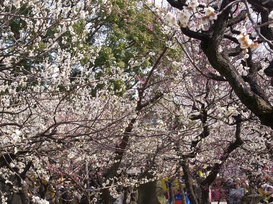 Ume Matsuri (Plum Blossom Festival).Some performers every weekend - Picture o...