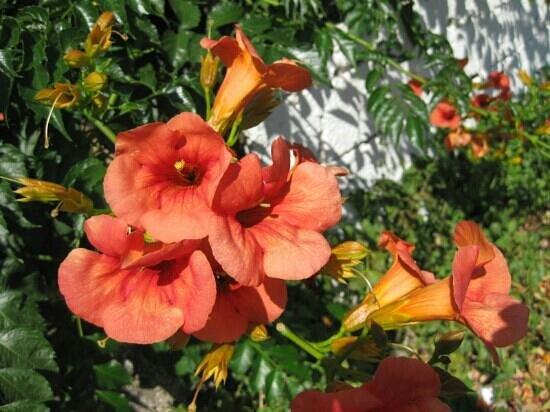 Agia Marina, Grecia:                   Vakre blomster