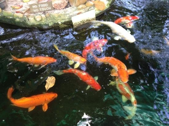 O.P. Bungalow:                   I was allowed to feed the koi