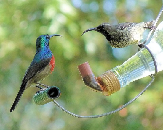 Rothman Manor:                                                       Sunbirds feeding in the garden
