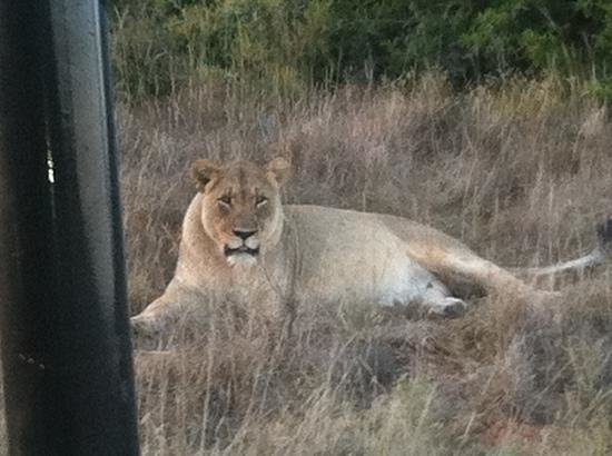 Shamwari Game Reserve Lodges:                   Huge lioness.
