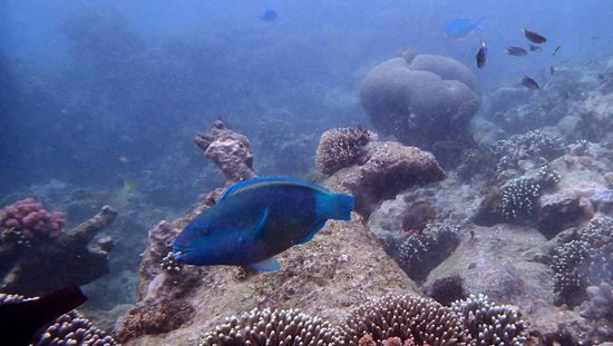 Tiwi, Kenya:                   A parrotfish at Kisite.