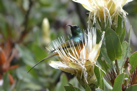 Newlands, Νότια Αφρική:                   Orange Breasted Sunbird on a protea